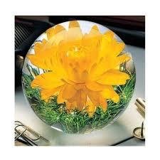 Helichrysum Yellow Gallery Image 2