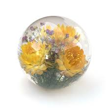 Helichrysum Yellow