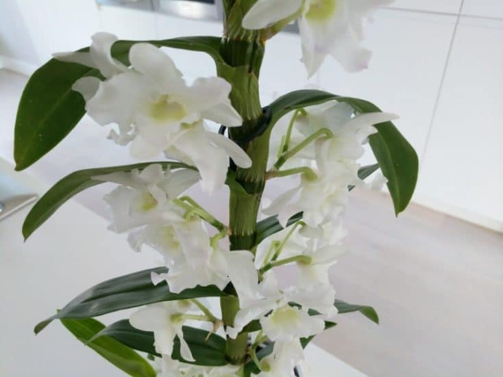 White Orchid (small) Gallery Image 1